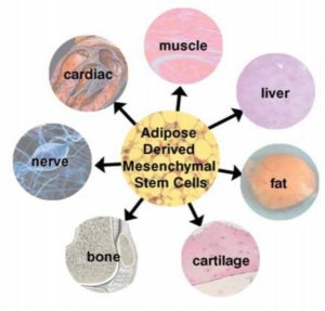 Fat Stem Cell: Adipose Derived Stem Cell; ADSC