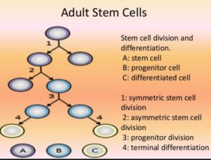 Plant Stem Cell: it has similar property of human adult stem cell.