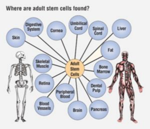 Adult stem cell: found every where of adult tissues.