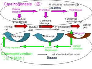 Cancer formation and its prevention by repairing damaged gene.