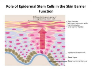 Stem Cell Cosmetics: to erase wrinkle, blemishes & sparkling snow white silky smooth skin.