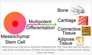 Stem Cell Therapy: Ability for self renewal & differentiation to target tissue helps in regenerative medicine & tissue repairs.