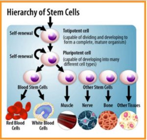 Stem Cell Hierarchy: from totipotent to pluripotent, multipotent and progenitor stem cell.