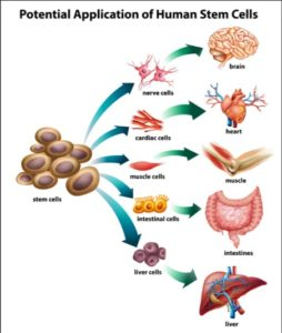 Stem Cell Therapy Benefit: regenerative medicine to repair damaged organs, cosmetic & anti aging application benefits.